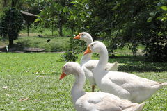 Three geese walking on grass Royalty Free Stock Photography