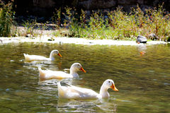 Three geese Stock Photography