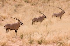 Three Gemsbok antelope in the Kgalagadi Stock Photography