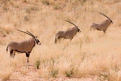 Three Gemsbok antelope in the Kgalagadi. Three Gemsbok Oryx antelope in the Kgalagadi Stock Photography