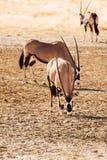 Three Gemsbok in the Kalahari desert. Three Gemsbok grazing in the Kalahari desert Royalty Free Stock Photography