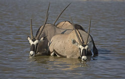 Three Gemsbok standing in deep water Royalty Free Stock Images