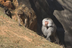 Three Generations of Baboons. Three baboons lined up on a ledge stock image