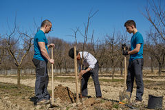 Three generations family planting a tree together. Senior farmer teaching his grandson and his son in law how to plant a tree in an orchard, three generations Royalty Free Stock Photos