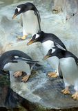 Group of Gentoo penguins on the rock. Cute animals close-up. Three Gentoo penguins ready to jumping into water. Funny animals of the world Royalty Free Stock Photography