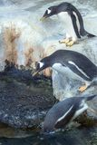Group of Gentoo penguins on the rock. Cute animals close-up. stock images