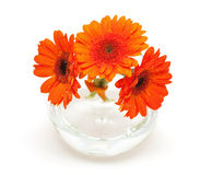 Three gerbara flowers with water drops. In the vase Stock Photography