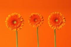 Three Gerber Flowers Stock Photos