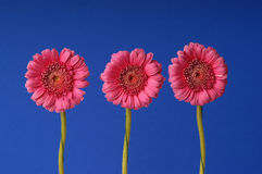 Three gerber flowers Royalty Free Stock Image
