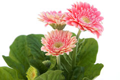Three gerber flowers Royalty Free Stock Images