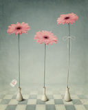 Three Gerber In White Vases. Royalty Free Stock Photo