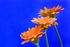 Three gerbera Stock Images