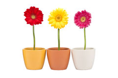Three Gerbera Stock Photography