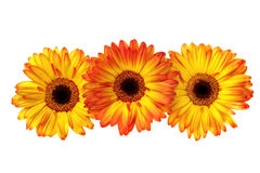 Three Gerbera Daisies Stock Images