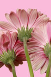 Three Gerbera Daisies. Vertical Presentation royalty free stock photography