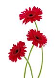 Three gerbera daisy flowers Royalty Free Stock Photography