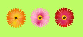 Three gerbera Royalty Free Stock Image