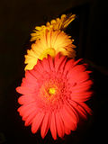 Three gerbera flower on black background. Three bright gerbera flower stacked in a line on a black background. like daisies, beautiful unusual card Royalty Free Stock Photo