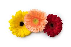 Gerbera flower heads on white background royalty free stock photo