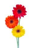 Three gerbera flowers close up Stock Photo