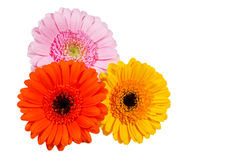 Three gerbera flowers, isolated Royalty Free Stock Photos