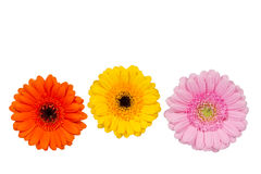 Three gerbera flowers, isolated Royalty Free Stock Photo