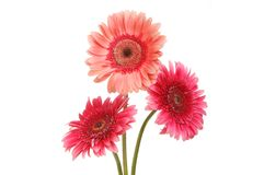 Three gerbera flowers. Isolated against white Stock Image