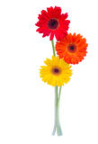 Three gerbera flowers Stock Image