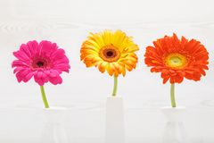 Three Gerbera flowers in vase on white wooden table. Daisy flower in vase. Royalty Free Stock Photos