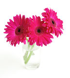 Three gerbera in a glass Royalty Free Stock Image