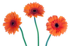 Three gerbera, isolated on white Royalty Free Stock Images