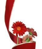 Three gerbera with red ribbon Royalty Free Stock Photo