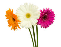 Three gerberas Royalty Free Stock Photo