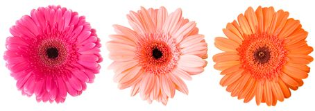 Three Gerberas Stock Photography