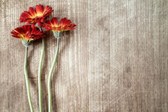 Three gerberas with copy-space Royalty Free Stock Photography