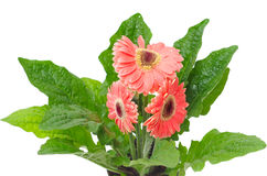Three gerberas with green  leafs Stock Photography