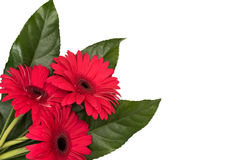 Three gerberas Royalty Free Stock Photography