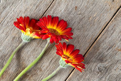 Three gerberas on the wooden background Stock Photos