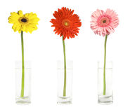 Three gerbers in vases. Gerbers in a glases isolated on white Stock Photography