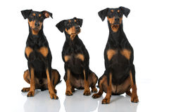 Three german pinscher. Isolated on white Stock Photography