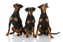 Three german pinscher Stock Photography