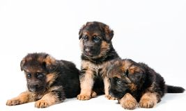 Three German Shepherd Stock Photos
