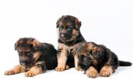 Three German Shepherd. Puppy on white background Stock Photos