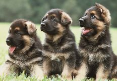 Three german shepherd puppies. Three six weeks old pure breed german shepherd dog puppies in a row stock photos