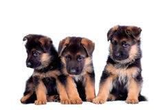 Three German shepherd puppies. Isolated on white background stock photography