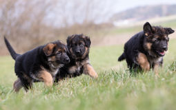 Three German Shepherd Puppies playing royalty free stock image