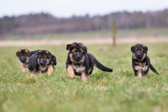 Three German Shepherd Puppies playing Royalty Free Stock Photography