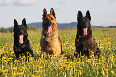 Three German Shepherds Royalty Free Stock Photo