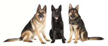 Three German Shepherds Royalty Free Stock Photography