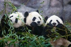 Three giant pandas stock photos